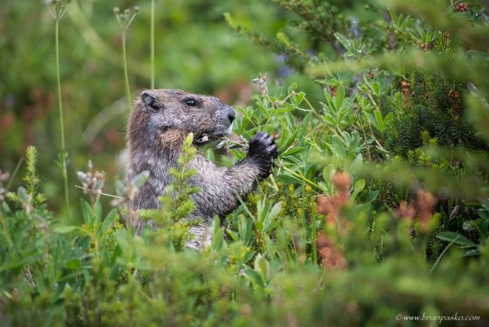 Photograph of a munching marmot at Mount Rainier National Park, Washington.