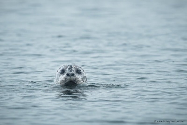 Photograph of a harbor seal swimming near Orcas Island in the San Juan Islands National Monument in Washington.