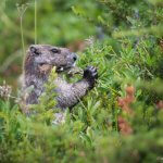 A cute marmot eating lunch in a meadow at Mount Rainier National Park.