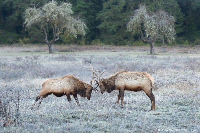 Roosevelt Elk in Prairie Creek Redwoods State Park California.