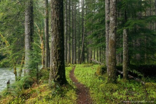 Forest trail following the Lewis River downstream in Washington.