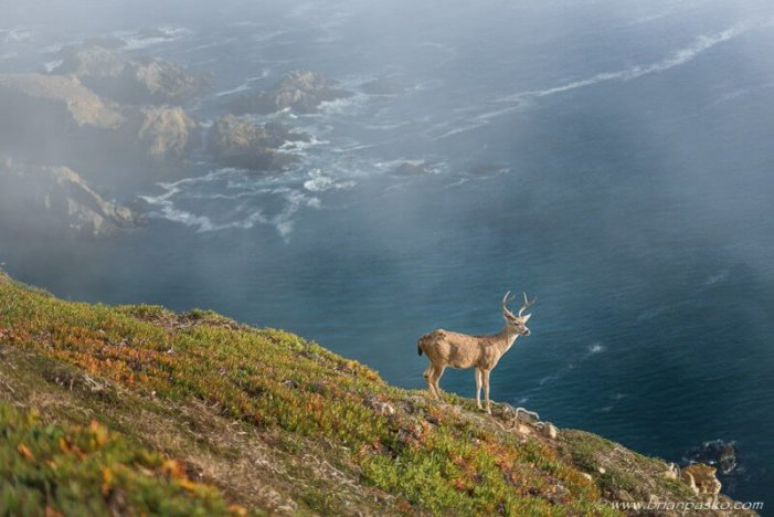 Photograph of a Black Tail Deer keeping watch on a cliff at Point Reye National Seashore in California.
