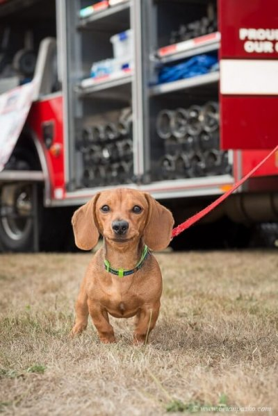 Editorial event photograph of Daschund with picture of a fire truck at Celebration in Boring, Oregon.