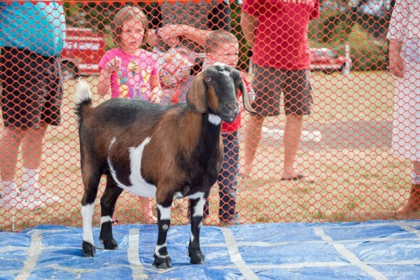 Editorial event photograph of goat and children picture at Celebration in Boring, Oregon.