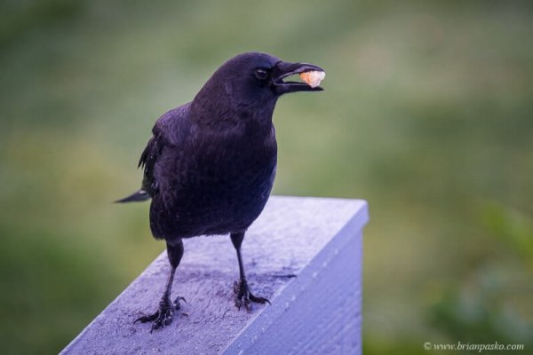Picture of black crow bird with food morsel in Manzanita Oregon.
