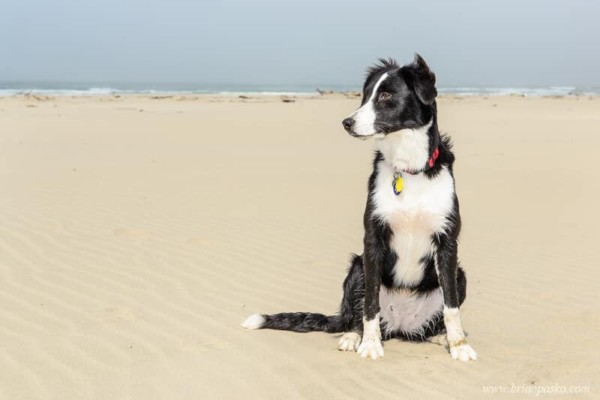 Border Collie sitting in the sand on Beverly Beach in Oregon.